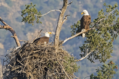 Eagles at their nest in the Los Angeles foothills