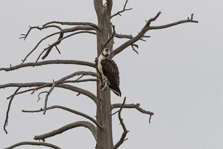 Bird osprey hunting from tree perch