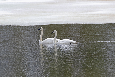 Swans swim at Yellowstone lake during the early spring