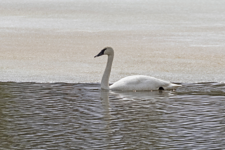 Swan swims at Yellowstone lake