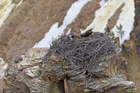 Bird osprey nest at Yellowstone