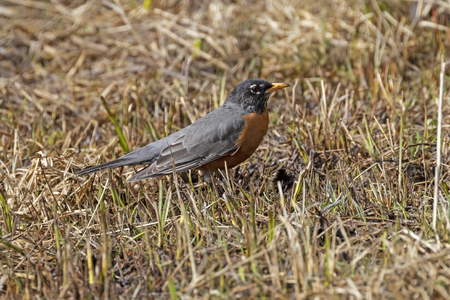 Yellowstone National Park bird at river grassland Stock Photo