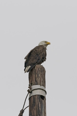 Bald eagle at light pole perch Stock Photo