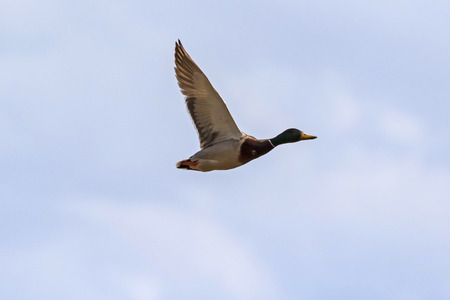 Duck in flight at Yellowstone National Park Stock Photo