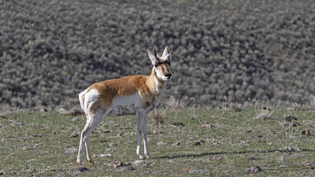 Pronghorn during the spring afternoon at Yellowstone