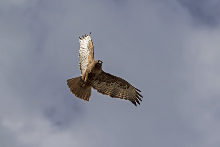 Hawk flying above Yellowstone Stock Photo
