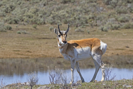 Pronghorn along Yellowstone park lake Stock Photo