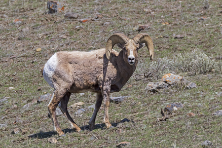 Big horn sheep at Yellowstone National Park