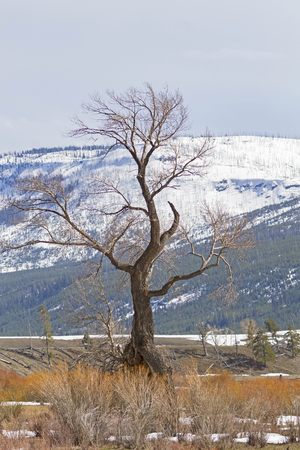 Yellowstone tree during early spring Stock Photo