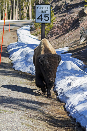 Bison running along Yellowstone road