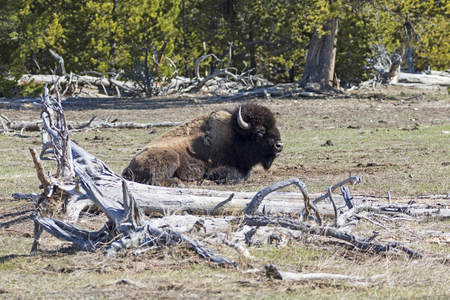 Yellowstone bison bull sleeping
