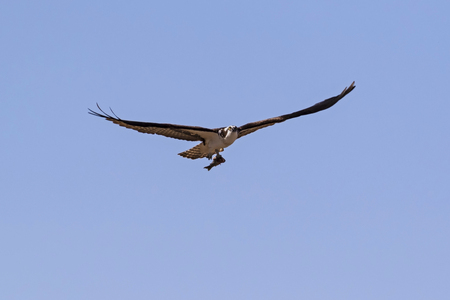 Bird osprey flying with food Stock Photo