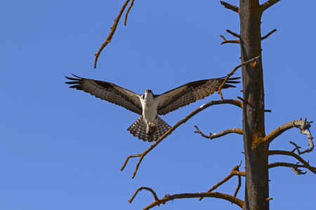 Osprey landing at Yellowstone Park tree Stock Photo