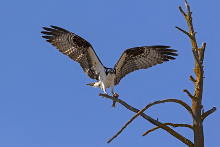 Yellowstone osprey with prey