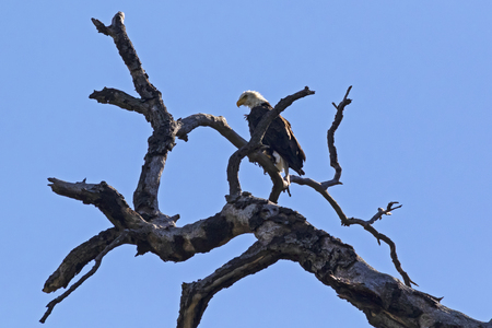 Bald eagle in twisted tree