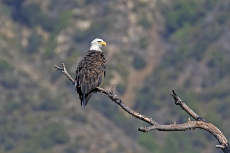 Bald eagle at tree perch