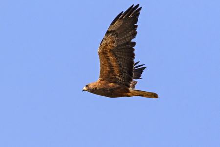 Hawk flying over Northern California field Stock Photo