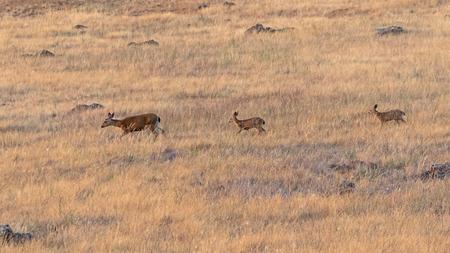 Deer along California grassland