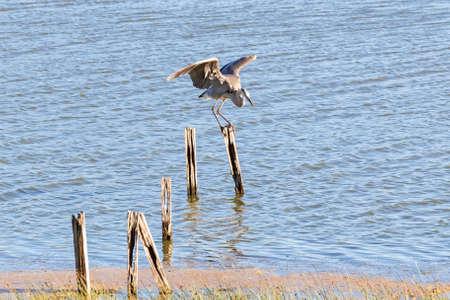 Bird great blue heron hunting along California marsh