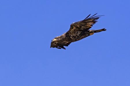 Bird juvenile bald eagle flying fast to landing