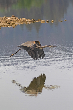 Bird great blue heron flying above the lake