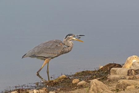 Bird great blue heron feeding