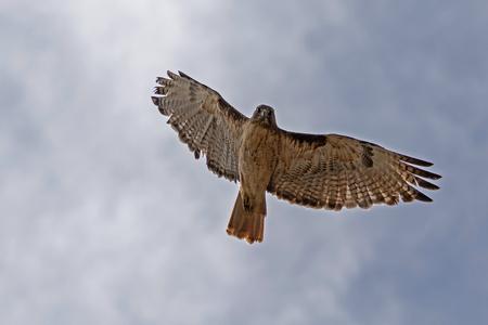 Bird hawk flying high above