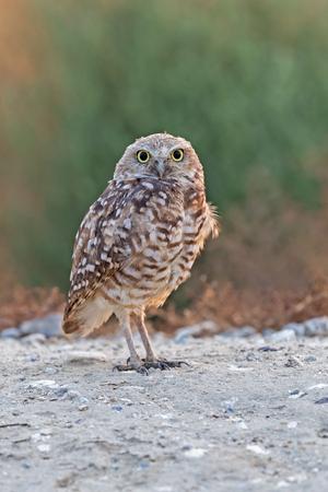 Bird burrowing owl standing portrait
