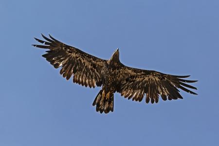 Bird juvenile bald eagle flying high above