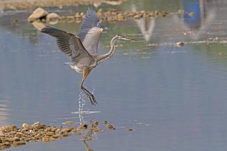 Bird great blue heron take-off from lake shore Stock Photo