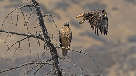 Hawks at park tree branch perch