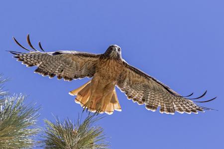Bird red tail hawk flying at Big Bear Lake Stock Photo