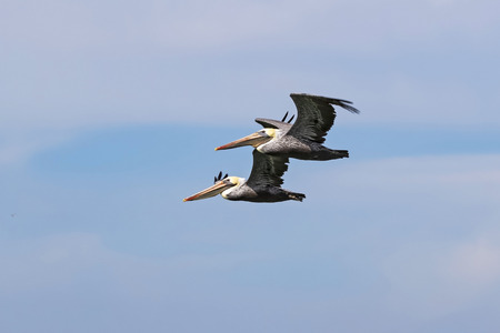 Pelican pair flying above San Francisco