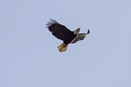 Eagle flying high above Los Angeles mountains