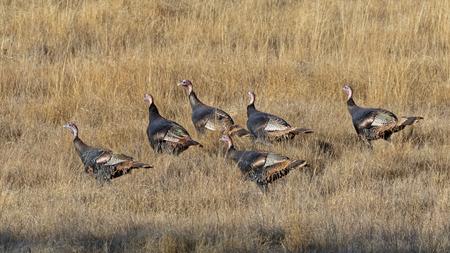 Wild turkey at San Diego grassland Stock Photo