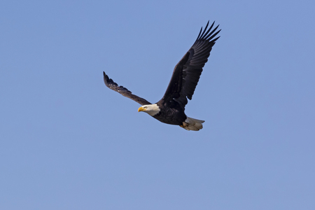 Bald eagle flying high above a San Diego lake