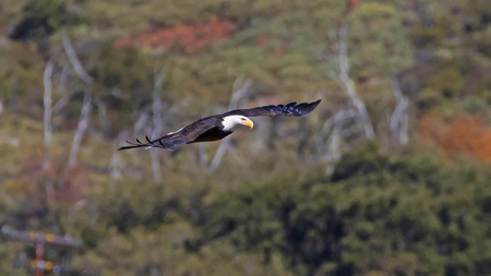 Bald eagle flying in the San Diego mountains