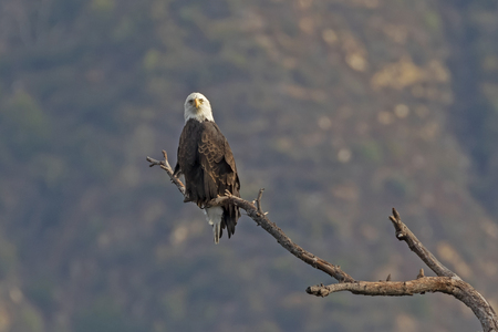 Bald eagle stare from valley perch