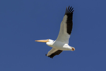 Pelican flying high above Stock Photo