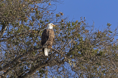 Bald eagle perched high above a lake Stock Photo