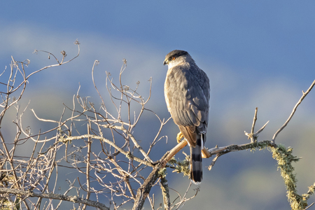 Bird merlin falcon on tree limb perch