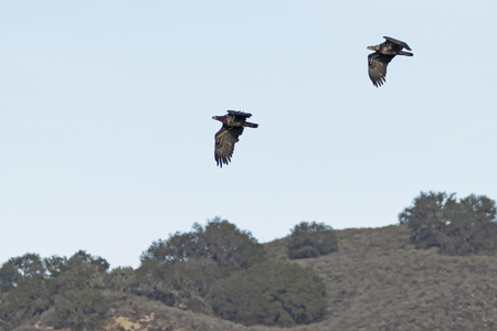 Birds pair of juvenile bald eagles flying over a California lake Stock Photo - 122470476