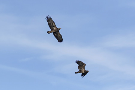 Bald eagle pair flying above a California lake Stock Photo