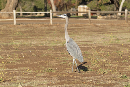 Bird great blue heron at park Imagens