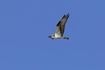 Bird osprey flying at California lake