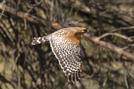 Bird red shoulder hawk flying at California forest Stock Photo - 114266335
