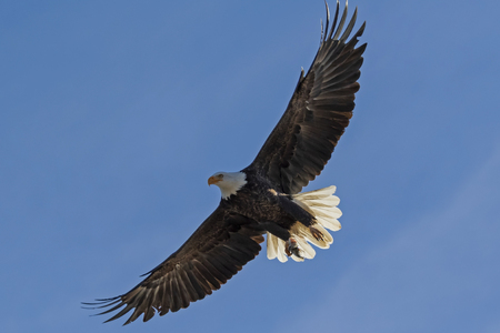Bald eagle flying above with full wing span