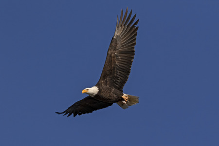 Bald eagle soars high above Klamath Wildlife Refuge in California