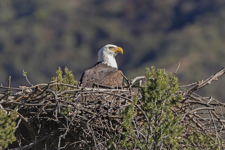 Bald eagle in Los Angeles mountains nest Stock Photo - 122470486