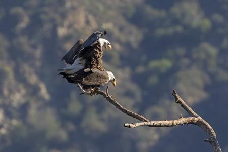 Bald eagles mate in Los Angeles mountains Banque d'images